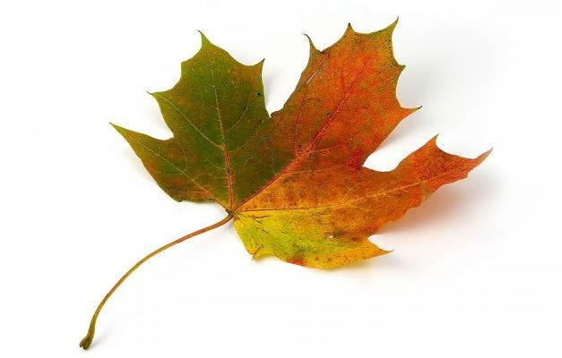 Maple-leaf-design