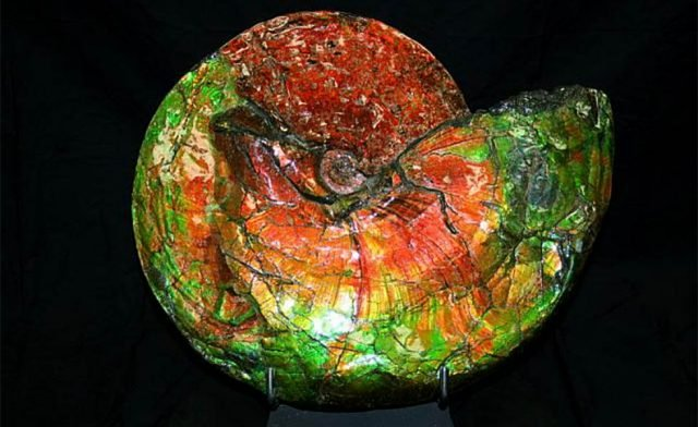 ammolite-shell