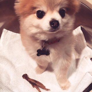 pomeranian-dog-cameo-appa-sq
