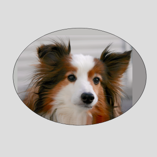 sheltie-dog-portrait-photo-sq
